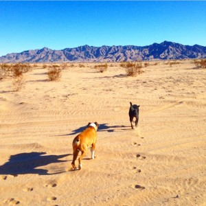 the dogs in the desert.